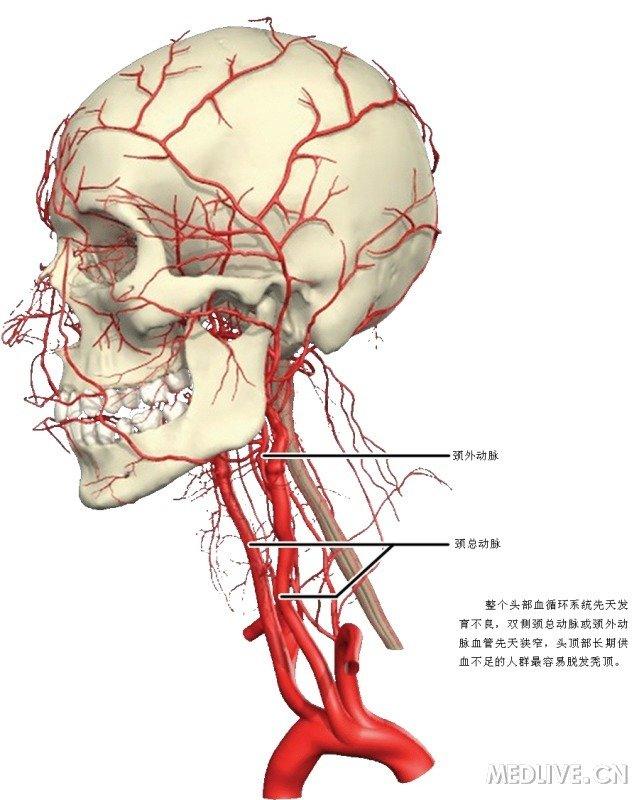 超清 3D血管模拟解剖图
